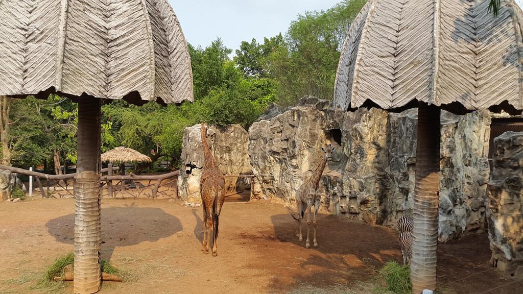 Первым всех встречает жираф
