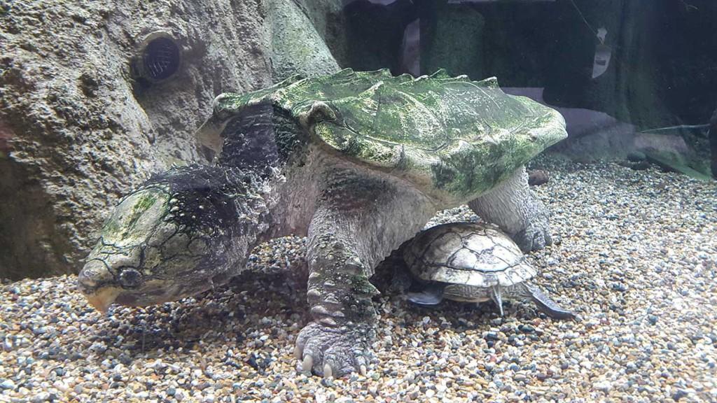 Видели такую речную черепаху?