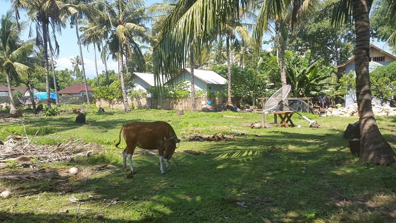 Корова и спутниковая антенна. Ну чем не деревня?