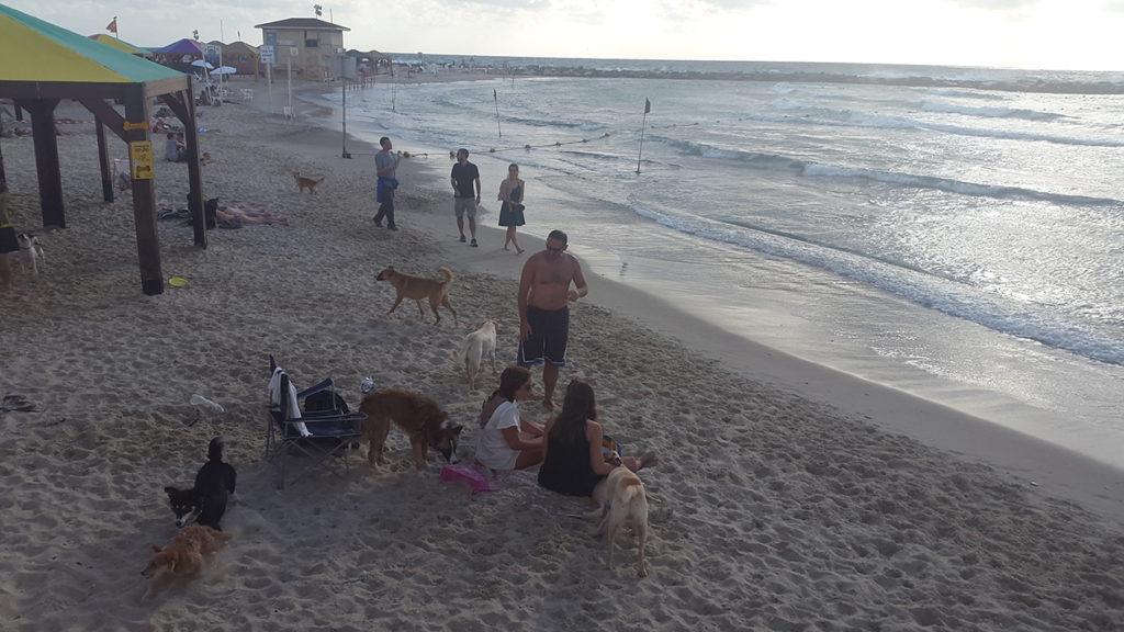 На набережной Тель Авива есть место для всего. Вот фото с собачего пляжа - сюда приходят отдыхать все собачники, здесь для их питомцев настоящее раздолье. И интересный факт, по соседству с собачим пляжем пляж для однополых пар и прочих секс-меньшинств.